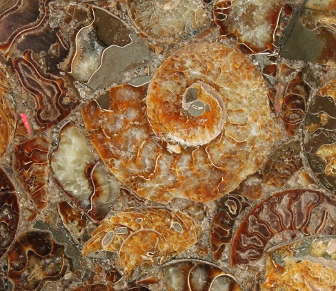 ammonite fossil plate, ethical source