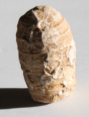 coral_fossil_natural_rare_formation_ethical_source