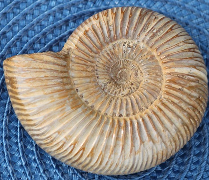 White spined ammonite fossil ethically sourced